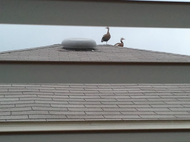 Hanging out on top of our neighbor's roof