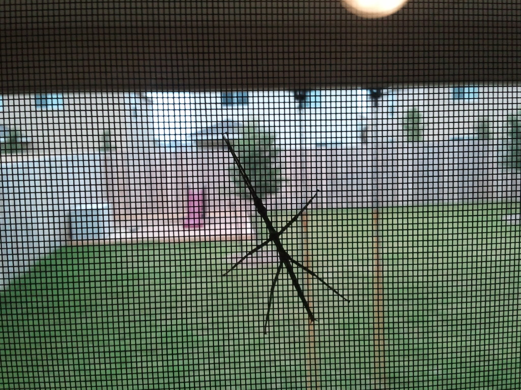 Stick bug hanging out on our screen door.